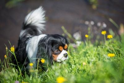 Photo de 3 dangers du printemps pour votre chien